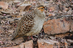 0028 Wachtelfrankolin - Grey Francolin (uwizisk) Tags: india indien ranthambhorenationalpark wachtelfrankolin francolinuspondicerianus vgel birds