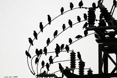 (Enllasez - Enric LLa) Tags: aves aus pjaros bird ocells siluetas