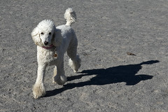 2661 (Jean Arf) Tags: ellison park dogpark rochester ny newyork september autumn fall 2016 poodle dog standardpoodle doris run shadow