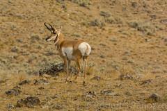 Posing the Buck {Explored} (ChicagoBob46) Tags: exploreexplored pronghornantelope antelope yellowstone yellowstonenationalpark nature wildlife