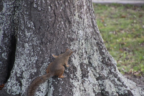Eastern Gray Squirrels on St. Simons Island (Georgia) - Tuesday July 26, 2016