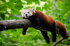 Red Panda trying to cool of a little (Mathias Appel) Tags: grn red panda animal tier roter kleiner nikon d7000 bokeh cute adorable sweet niedlich ss sues suess tree green endangered species bedrohte tierart zoo tierpark deutschland germany female weiblich young jungtier bamboo baum jung ears ohren face gesicht tail schwanz nose nase orange fur fell high iso animals nature natur wildlife bedroht ailurus fulgens vintage 2015 mozilla firefox feet paws paw foot fall autumn herbst wochenende weekend