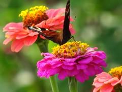 Kleurig (Omroep Zeeland) Tags: vlinders bloemen