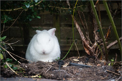 Grumpy Rabbit (mikeyp2000) Tags: pancake sulk bunny a99 hiding rabbit industar502 cross sulking m42 grumpy