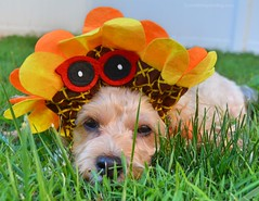 Sadie and the Sunflower Hat (yourdesignerdog) Tags: ifttt wordpress all posts wordless wednesday blog cute designer dogs dog costume hat smiling with flowers pets summer sunflower sunglasses
