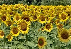 ... un campo di girasoli (antosti) Tags: francia provenza valensole coltivazione campo girasoli foglie fiori giallo arancio verde nikon d70s sunflowers