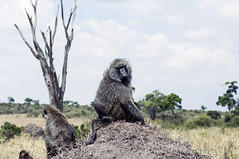 The King of the hill (jhderojas) Tags: monkey masai mara kenia