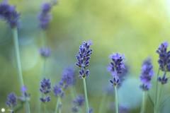 End of Summer (Trayc99) Tags: summer end lavender flowers purple delicate bokeh closeup beautyinnature beautyinmacro beautiful floralart depthoffield plant
