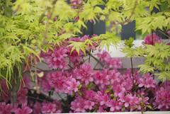 DSC_4588 (amt40) Tags: flower primavera garden spring flor japanesemaple acer azalea deciduous shrubs palmatum arcejaponés