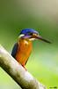 Blue Eared Kingfisher #9 (Ken Goh thanks for 2 Million views) Tags: lighting blue cute male green pose flickr ngc clean npc kingfisher ear perch creamy kf eared mygearandme mygearandmepremium mygearandmebronze mygearandmesilver mygearandmegold mygearandmeplatinum