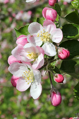 Apple Blossoms (gripspix (OFF)) Tags: plant nature natur pflanze bloom blte aplle apfelblte mygardenschool 20120427