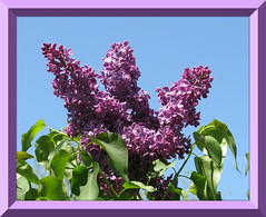 """Spring Lilacs"" (ellenc995) Tags: friends garden spring scent lilacs naturesfinest coth supershot fantasticnature akob abigfave anawesomeshot citrit platinumheartaward thesuperbmasterpiece rubyphotographer awesomeblossoms 100commentgroup coth5 hennysgardens naturallywonderful top25purplepinkandblue 5wonderwall thesunshinegroup sunrays5 challengeclubchampion"