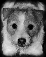 Holly the Wire Hair Jack Russell. (CWhatPhotos) Tags: pictures camera portrait dog pet pets white black colour macro cute dogs monochrome animal animals shop digital canon hair that lens jack eos ginger wire rat jrt paint artist foto russell with image artistic little pics small picture adorable straw 9 canine pic jr images 100mm holly wirehaired have terrier adobe fotos jackrussell 7d type pro wired 28 rough breed haired coloured f28 jackrussellterrier ratterrier contain bonny called lightroom ratterriers ratter cwhatphotos strawandwhite