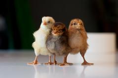 Chicks (d0gXxX) Tags: chicks pulcini