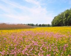 Lychnis à gogo sur le bord d'etang.. (dombes et ailleurs) Tags: flowers fleurs spring pond printemps raggedrobin etang caryophyllaceae dombes lychnisfloscuculi lychnisfleurdecoucou