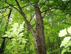belegbild rotbucheee, NGID219746779 (naturgucker.de) Tags: fagussylvatica rotbuche naturguckerde 915119198 11941622 chelmutschmidt 861057009 ngid219746779