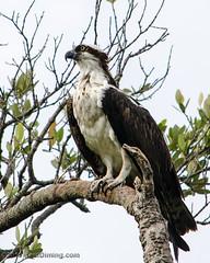 Osprey II - Sanibel Island, FL - wild - by Paul Diming (Paul Diming) Tags: d7000 florida osprey pauldiming sanibel sanibelisland spring wildlife bird birdofprey birds raptor photocontesttnc12