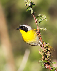Common Yellow-throat (mattlev12) Tags: