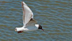 practise makes perfect (blackfox wildlife and nature imaging) Tags: wales nikon gull 300mmf4 blackheaded 17tc borderfx d7000 cqnr