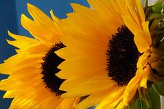 sunflowers (zima80) Tags: sunflower kit makro 18105 sonecznik kwiat patki nikond5000