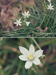 White flowers. (Linh H. Nguyen) Tags: flower macro nature floral beauty diptych bokeh sony simplicity filmfx nex7