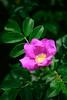 2012 Spring rose; Ramanas rose (shinichiro*) Tags: flower macro rose japan spring may 日本 crazyshin kawasaki 2012 神奈川県 川崎市 makroplanart2100zf 生田緑地バラ苑 晴れの日 nikond800e 20120520d011996