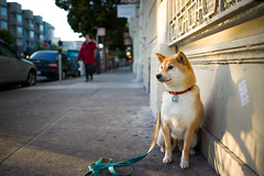 Day's End (kaoni701) Tags: sanfrancisco leica sunset portrait dog valencia 28mm summicron missiondistrict suki shibainu m9