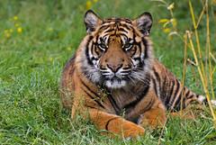 Sumatran Tiger 1 (Funky Foxy) Tags: tiger lion sumatrantiger africanlion pantheraleo pantheratigrissumatrae endangeredbigcats
