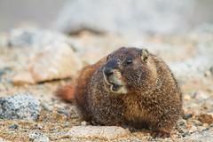 Marmot (Talal Al-Mulla  ) Tags: animal evans squirrel colorado denver mount marmot talal