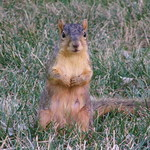 14/365/1475 (June 25, 2012) - Squirrels at the University of Michigan (Ann Arbor) thumbnail