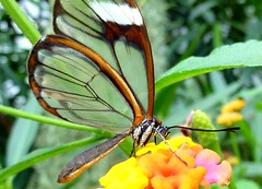 Glasswinged butterfly (Frans.Sellies) Tags: butterfly papillon mariposa schmetterling vlinder glasswing gretaoto espejitos glasswingbutterfly glasvlinder p1340771