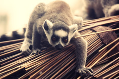 Lemur (~ Helen ~) Tags: baby cute lakedistrict lemur goldenafternoon southlakeswildlifepark coffeeshopaction