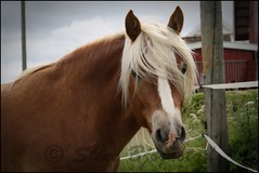 Gardar (StineBjor) Tags: summer horses horse grass norway norge eyes mule muzzle hest norsk muzzles dølahest gardar dolahorse dolehorse dolahorses