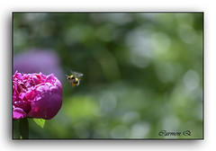 LA ABEJA Y LA  FLOR (Carmen Q.1) Tags: flor bella abeja bailar thegalaxy fbdg olétusfotos mygearandme ringexcellence flickrstruereflection1 rememberthatmomentlevel1 rememberthatmomentlevel2
