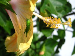 tiny grasshopper (tomo_moko) Tags: flower macro green yellow insect hibiscus tiny grasshopper