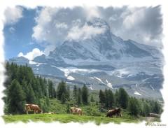 Dairy Cattle on the pastures North side of the Matterhorn (robin denton) Tags: mountains alps landscape switzerland cows suisse swiss zermatt matterhorn alpen wallis ch valais mountainscenery sweiz dairycattle mountainphotography