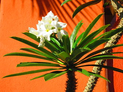 palm bloom (kenjet) Tags: flower green mexico cabo palm bloom cabosanlucas