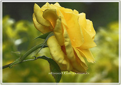 Yellow rose (shootforu.com) Tags: macro nature rose yellow smell stems thorns tones scent flowerspetals closeupdetail
