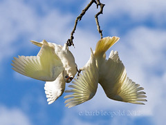 Crazy Corellas (Barbiejay2) Tags: two sky birds crazy pair feathers bluesky wetlands stick australianbirds twobirds mountbarker corellas laratinga mtbarker laratingawetlands barbleopold
