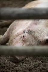 IMG_7324 (rikhard.kuutti) Tags: sleeping cute finland pig mud lapland resting animalpark canonef70200mmf28lis konijänkkä