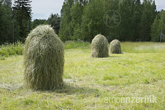 Hay bales in a freshly mown field (Arno Enzerink) Tags: trees tree green grass finland three straw pasture pastures fi dried hay bales bale stacked mowed piled kirkkonummi mownpile