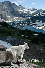 GlacierGoats (13 of 1)