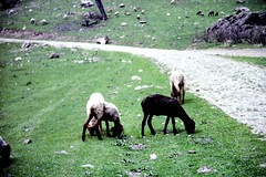 Kashmir sheep near Aru, Kashmir (Arthur Chapman) Tags: india sheep kashmir aru himalayanmountains kashmirsheep