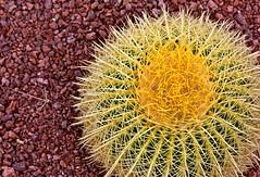Cactus (Stephskimo) Tags: cactus spain tenerife canaryislands