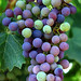 Jordan Cabernet Sauvignon grapes during veraison