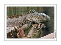 Tupinambis Teguixin, Tegu (Mauro 70) Tags: drago rettile sanguefreddo
