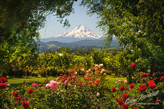 Sunshine, flowers, bees and butterflies (Gary Randall) Tags: flowers roses oregon garden pears orchard mthood mounthood hoodriver dsc66342