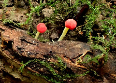 Tiny Red Fungus (bugldy99) Tags: red nature outdoors fungus toadstool