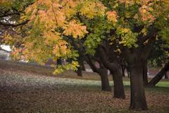 Autumnal colours (Eduardo_il_Magnifico) Tags: autumn trees plants leaves colours seasons newengland australia foliage nsw newsouthwales armidale sigma35mmf14 nikond750