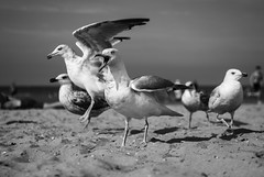 Get out of my beach! (MathayJL - Offline for 2 days) Tags: beach plage sea mer gull seagull gulls seagulls mouette mouettes nikon d80 nikkor3570mmf28 sky ciel bnw bw noiretblanc blackandwhite depthoffield profondeurdechamp outdoor seaside balnaire people gens sand sable dunkerque dunkirk flandre flanders france portrait clouds nuages bird oiseau birds oiseaux gris grey gaviota gavilan pardela mwe seamwe gabbiano gaivota wildlife blackwhitephotos